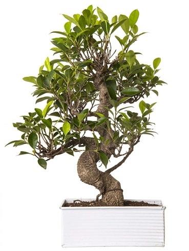 Exotic Green S Gövde 6 Year Ficus Bonsai  Gaziantep cicek , cicekci