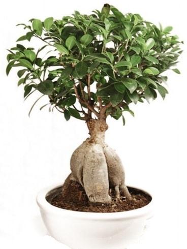Ginseng bonsai japon ağacı ficus ginseng  Gaziantep online çiçek gönderme sipariş